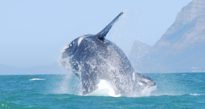 Whales in False Bay near Seagetaway Accommodation