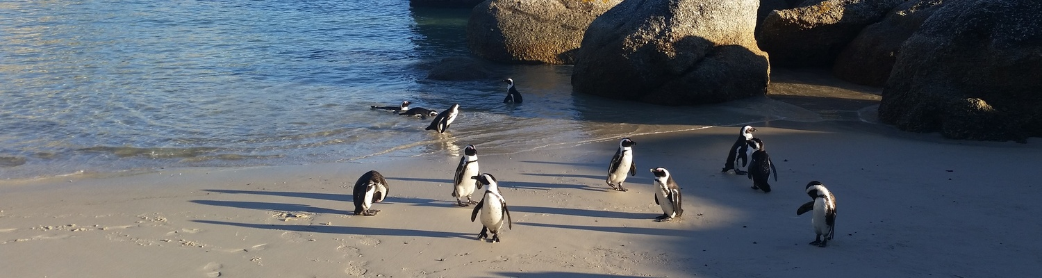 Penguins swimming at Boulders Beach near Seagetaway Simon's Town